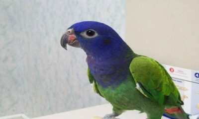 Pionus Parrot's Perfect Place