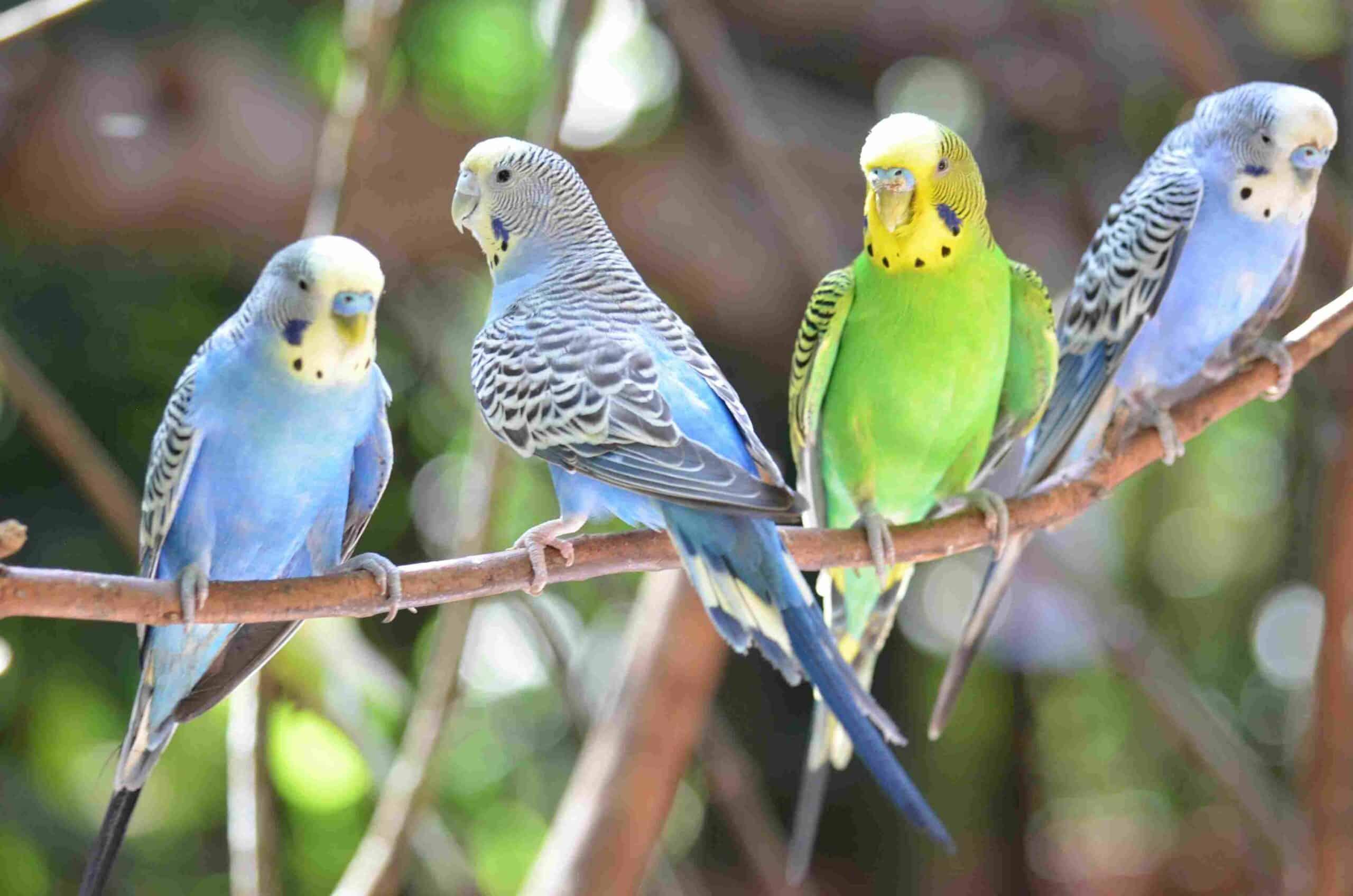 Budgies And Parakeets