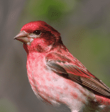 Purple Finch Bird