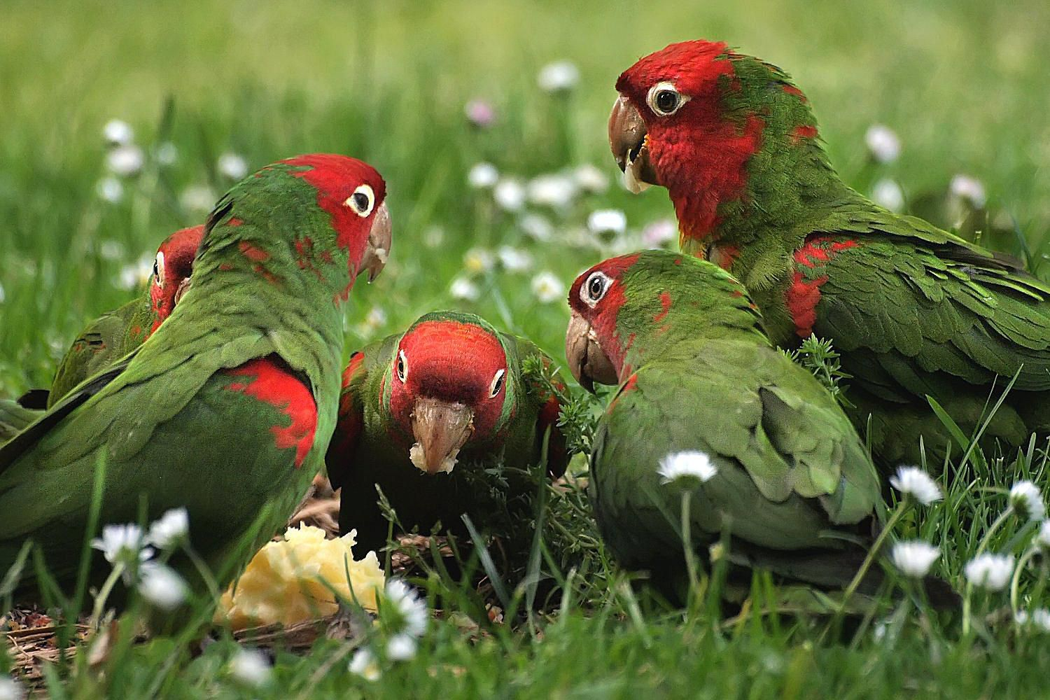 Parrots Are Wild, Not Local